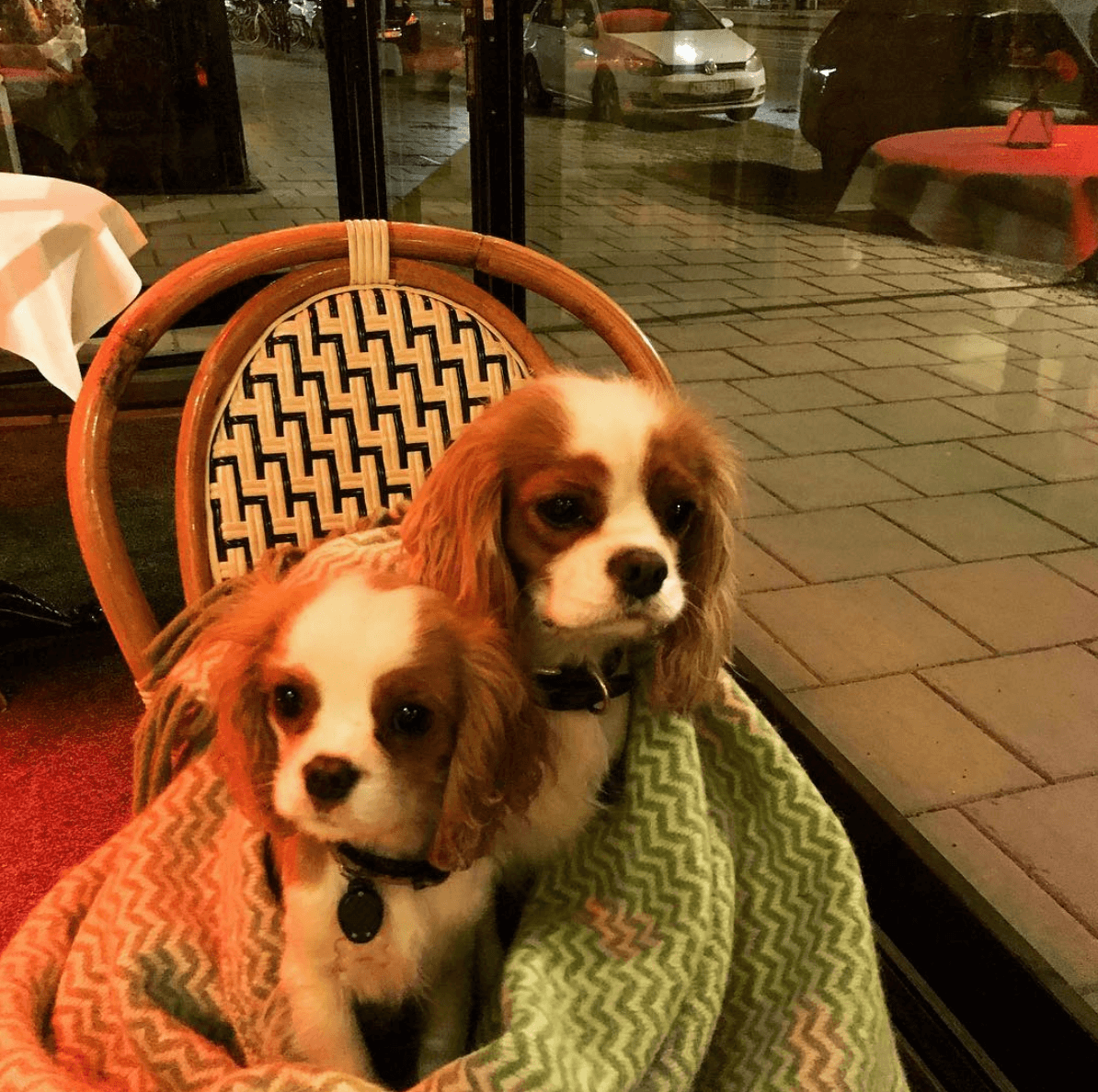 King Charles Cavalier Kennel